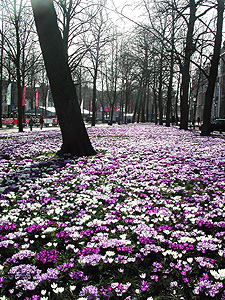 Crocuses in the Hague