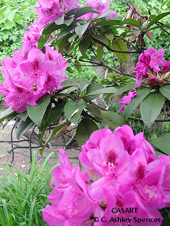 Rhodos in Bloom photo by C. Ashley Spencer