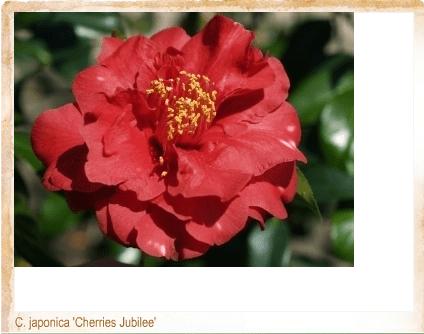 Cherries Jubiliee via American Camellia Society