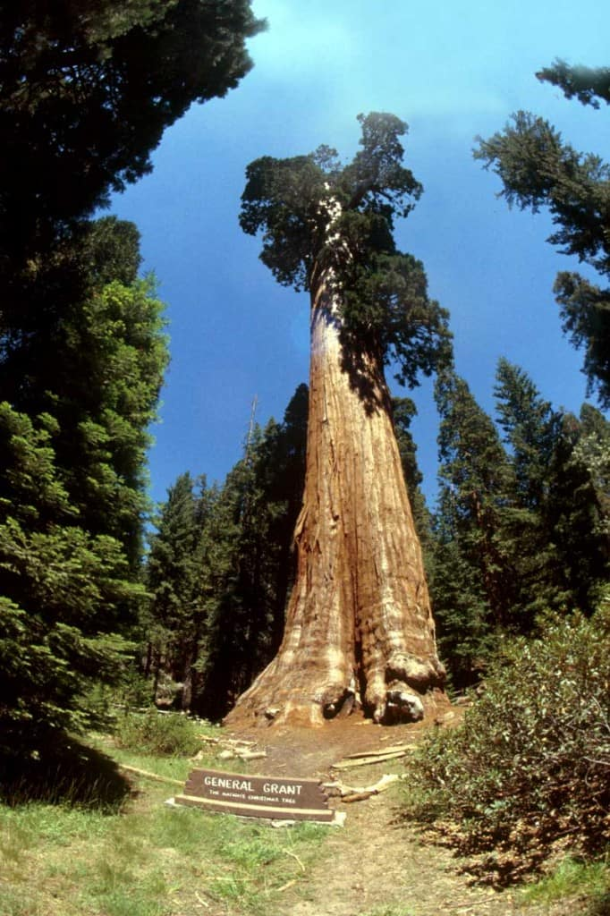 sequoia-11 image via http://sciencelog.edublogs.org/plants/, Art is Everywhere blog