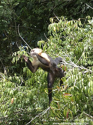 Capuchin Monkey_Panama_Art Is Everywhere