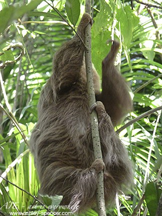 Two-toed sloth_Panama jungle_Art Is Everywhere
