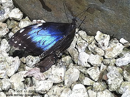 Blue Morpho butterfly at rest_Panama_Art Is Everywhere