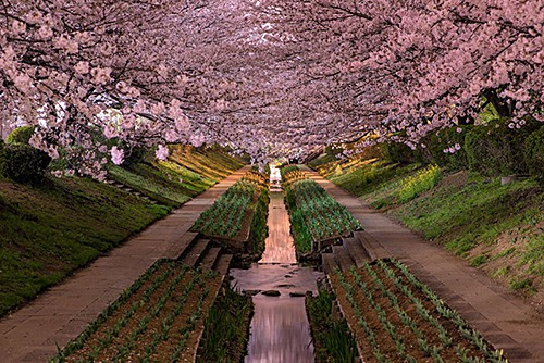 cherry-blossoms-in-bloor-yokohama-japan-hanami_by AGUSTIN RAFAEL REYES on AIE blog
