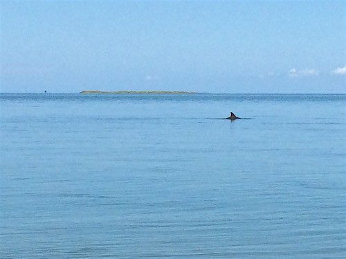 Dolphin in Pamlico Sound_AIE