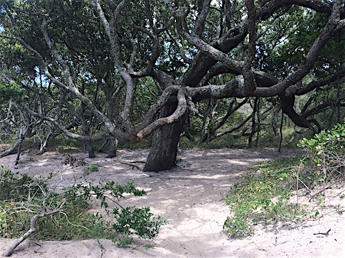 The wooded path at Springer's Point Ocracoke_AIE