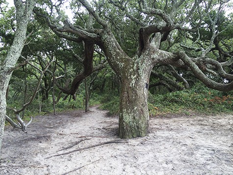 Springer's Point path into the Ocracoke woods_ AIE
