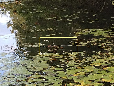 See the beaver in trustom pond on AIE