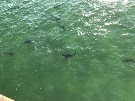 Blacktip sharks below the Gulf Shores pier wait for chum_AIE