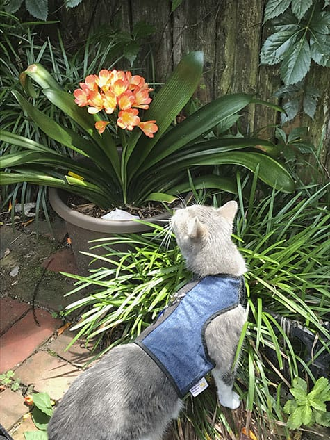 cat and clivia blossoms_AIE