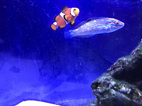 Clownfish_wrasse_AIE